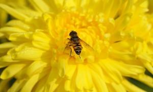 蜜蜂成群死亡 最新研究:苍蝇下蛋所致
